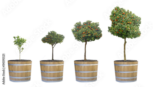 Growth of citrus trees
