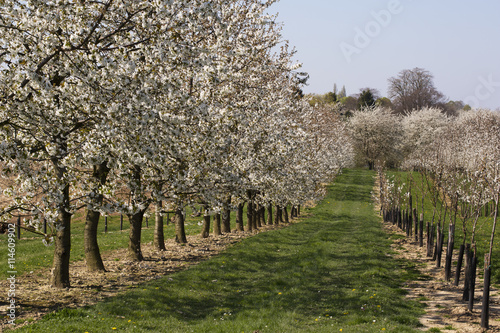 Orchard with blossoming pear trees