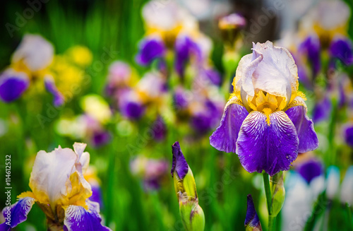 purple iris flower on green background