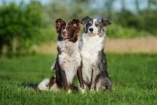 Two Border Collie Dogs Sitting On A Field