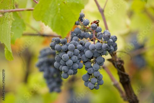 Fotografie, Obraz  vineyard