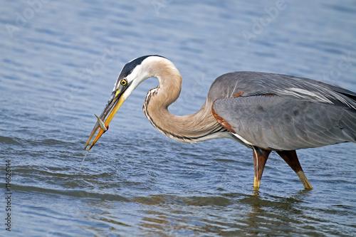Αφίσα  Great Blue Heron Eating Fish