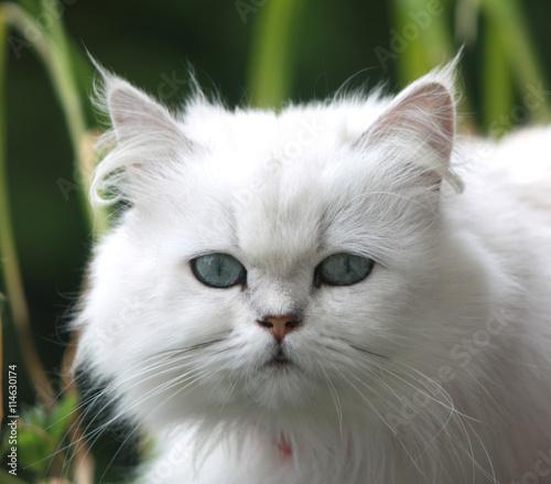 Chat blanc - 114630174