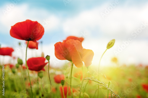 Poppies field in rays sun. Canvas Print