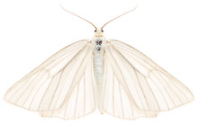 The Black-veined Moth Siona Lineata Beautiful Butterfly Isolated On White Background, Dorsal View.