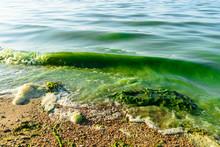 Algal Blooms, Green Surf Beach...