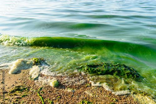 Fotografia, Obraz  algal blooms, green surf beach on the lake