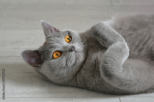 Obraz Portrait of a british shorthair cat with expressive orange eyes, that's laying on the floor. - fototapety do salonu