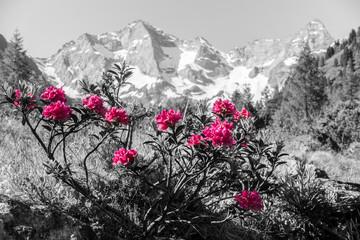 Obraz na SzkleAlpenrosen mit Gebirge im Hintergrund Kunst