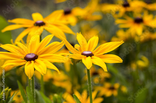 Valokuva  Bright yellow rudbeckia or Black Eyed Susan flowers in the garden