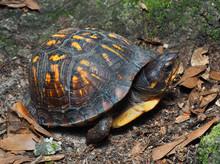 Eastern Box Turtle In It's Nat...