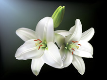 White Lilies Isolated On A Dar...