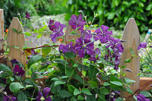 Wooden Fence And Clematis Flowers