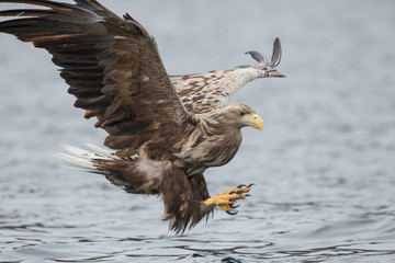 Male White-tailed Eagle