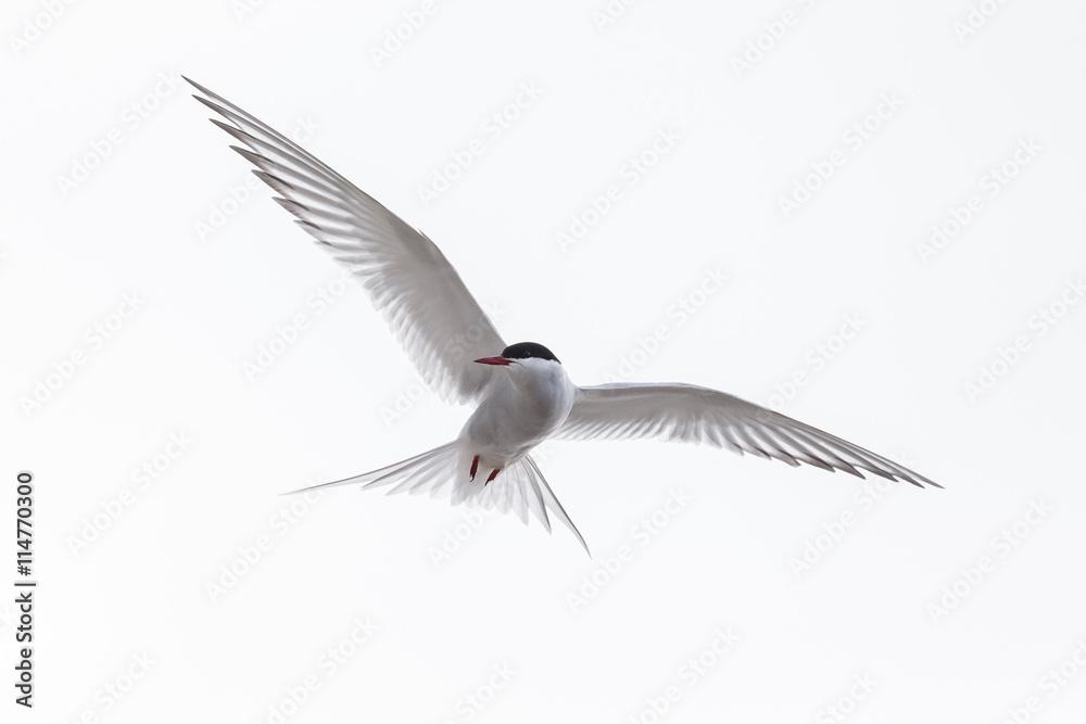 Common Tern or arctic tern in flight