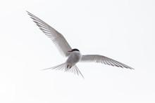 Common Tern Or Arctic Tern In ...