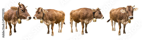 set of isolated brown cows on white backgrund / Set brauner Kühe isoliert auf weißem Hintergrund