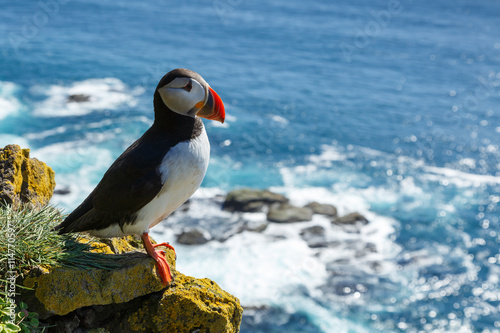 Fotografia Puffin taken at the cliffs of Latrabjarg Iceland