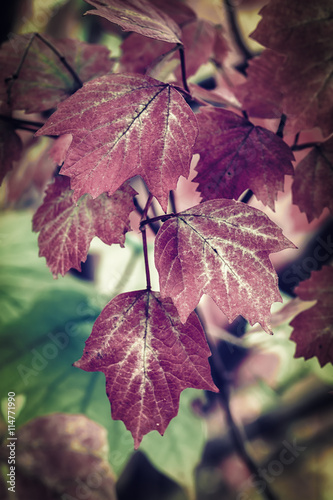 Poster Crimson Autumn leaves background