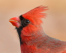 Male Northern Cardinal (Cardinalis Cardinalis) Profile Portrait