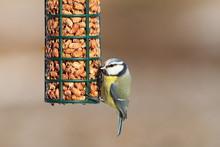 Blue Tit On Bird Feeder Full Of Peanuts