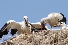 White Stork Feeding Chicks At Nest
