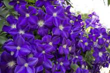 Clematis Violet Flowers