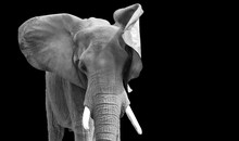 Elephant Isolated With Black Background