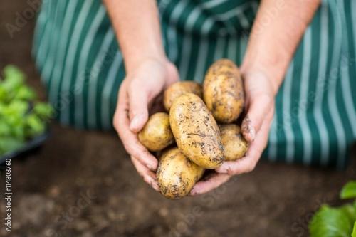 Fotografia Gardener harvesting potatoes at greenhouse