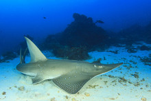 White-spotted Guitarfish (othe...