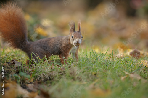 Printed kitchen splashbacks Squirrel Red squirrel in autumn