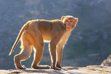 Rhesus Macaque Walking Near Galta Temple In Jaipur, Rajasthan, I