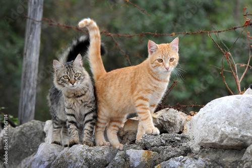 Fotografie, Obraz  Zwei hübsche Katzen laufen auf einer Mauer
