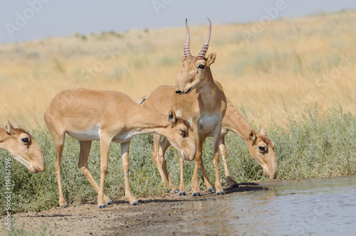Poster Antilope Wild Saiga antelopes near the watering place in the morning