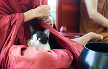 Cat Is Sitting In Thai Buddhism Monk Lap.