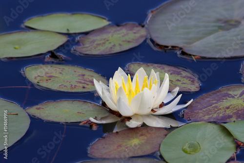 Poster de jardin Nénuphars Fragrant Water Lily Flower