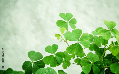 Close up Clovers leaves for background .The symbolic of Clover t