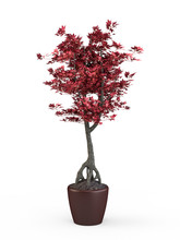 Bonsai Japanese Maple With Red...