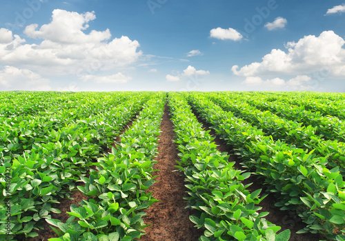 Canvas Prints Culture Rows on the field. Agricultural landscape in the summer time
