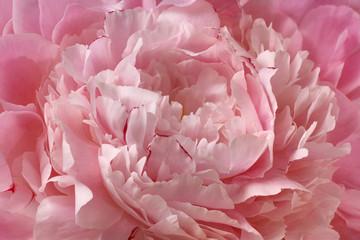 Pink peony beautiful rose flower petal background closeup macro texture