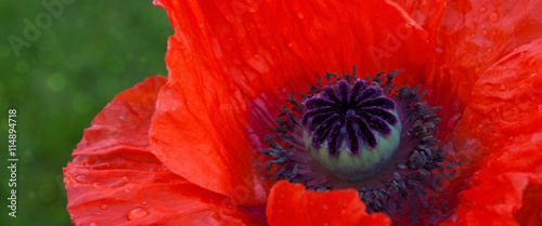 fototapeta na szkło Red poppy close up .