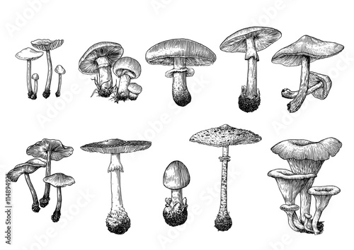 Stampa su Tela vector, drawing, engraving, mushroom