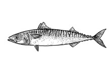 Scale, Fin, Water, Food, Fish, Illustration, Engrave, Line, Drawing, Vintage, Vector, Fishing, Mackerel