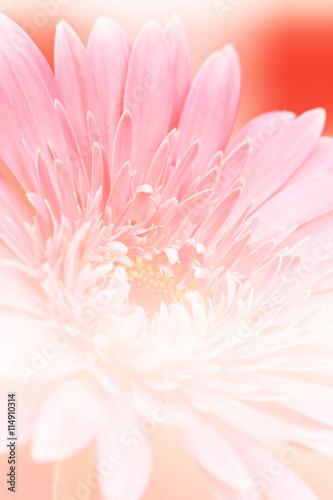 Poster de jardin Dahlia beautiful pink gerbera flower,
