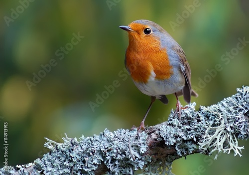 Photo  European robin (Erithacus rubecula) on the branch