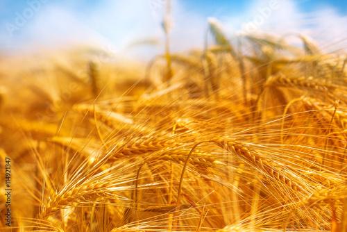 obraz dibond Golden barley field, selective focus