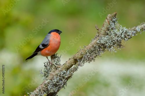 Fotografia Bullfinch, Pyrrhula pyrrhula, sitting on lichen branch