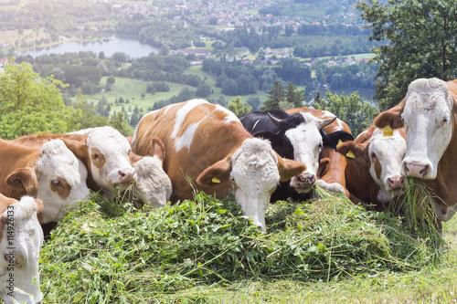 Fotografie, Obraz  Kühe beim Gras fressen