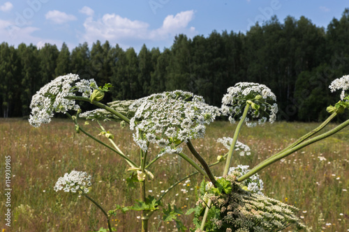 Fotografija  Harmful plant cow parsnip