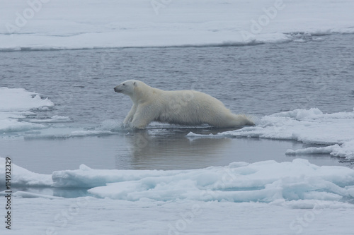 Tuinposter Turkoois Eisbär, Eisbären, Packeis, Eis, Spitzbergen, Artik, Polarkreis, Nordpol, Norwegen, Tier, Säugetier, Wasser